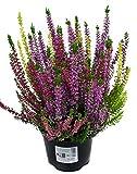 10 Pflanzen Calluna vulgaris Trios Milka, Besenheide, Winterheide, Beauty Lady´s im 12 cm Topf