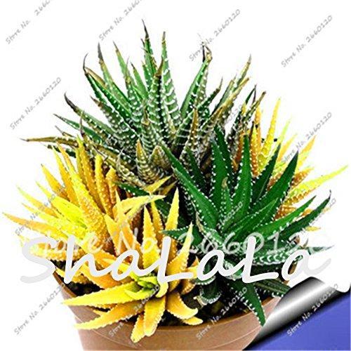 10 Yellow Aloe Seeds Mix-Excellent Houseplants Succulent Mini Cactus Plants Rebutia Variety Exotic Flowering Garden Bonsai