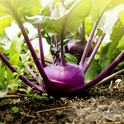 Violet Kohlrabi Alka Graines - Brassica Oler Convar. Acephala Feuilles Gongylodes