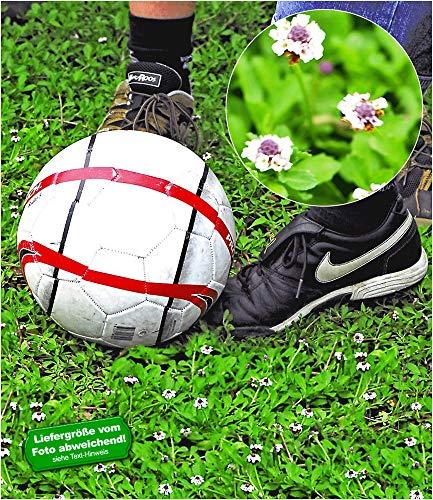 BALDUR-Garten Winterharter Bodendecker Lippia 'Summer Pearls®' weiß Rasenersatz, 4 Pflanzen Teppichverbene Blütenrasen