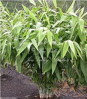 Best bamboo tiger grass Reviews