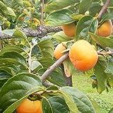【予約】山形産 庄内柿(しょうないがき) 訳あり約5キロガス脱渋