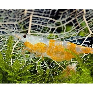 Orange Rili Garnele Neocaridina davidi var