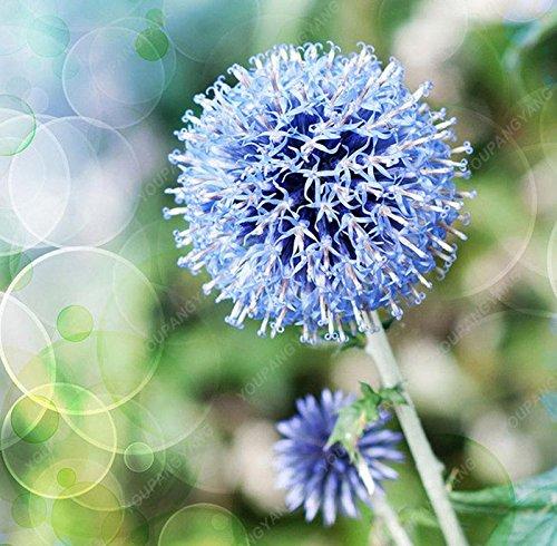 30pcs/sac géant oignon (Allium giganteum) graine rare bonsaï belle fleur plantes en pot de fleurs jardin jaune Livraison gratuite