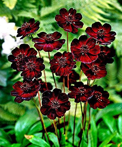 AIMADO Samen-50 Pcs Schokoladen-Kosmee Samen Schokoladenblume speziellen Duft, exotische samen mehrjährig Blumensamen für Garten Balkon