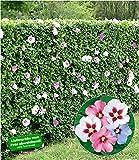 BALDUR-Garten Hibiskus-Hecke
