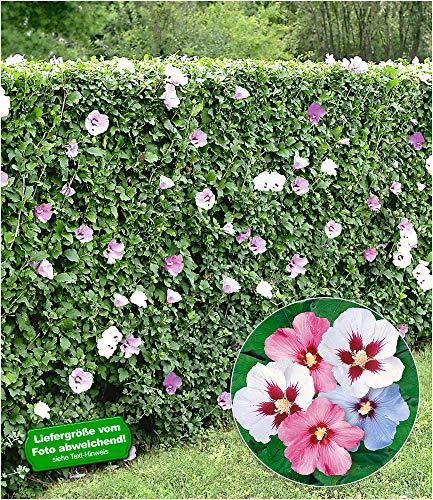 BALDUR Garten Hibiskus-Hecke, 5 Pflanzen, Hibiscus Syriacus Heckenpflanzen blühend