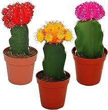 Mejor Colored Cactus Plants de 2021 - Mejor valorados y revisados