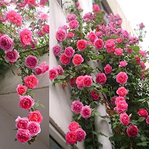 Eantpure Jardín Planta en Maceta perenne,Plantas de semillero de Vid trepadora Cuatro Estaciones floración Actividades constantes-250g_Flor de Rosa Colorida,Flores Paisaje para cercas