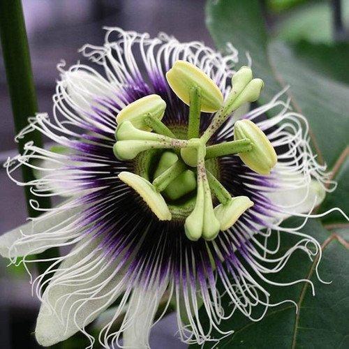 Plant World Seeds - Passiflora Edulis Seeds