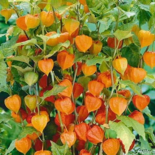 Qulista Samenhaus - 50pcs Lampionblume Wildstauden Obst saatgut Herbstdeko Blumensamen winterhart mehrjährig
