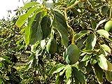 Avocado Persea americana Pflanze 5-10cm Persea gratissima Butterfrucht Rarität