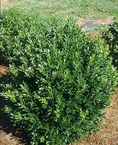 Shamrock Inkberry Holly - 4' pot - Ilex glabra