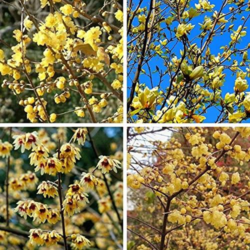 20 Stück Topf Samen Schöne Trockenresistenz Leicht zu pflanzen Chimonanthus Praecox Blumensamen für Garten - Samen