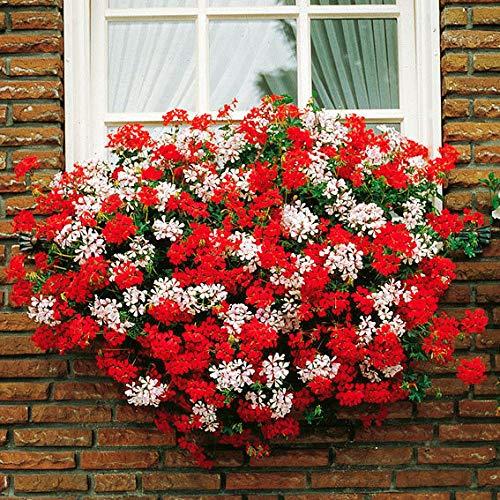 Soteer Garten - Raritäten Hängegeranie Samen Pelargonien Balkonblumen Samen Blumenstauden Weiße/Rote Blüten für Garten Balkon/Terrasse
