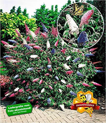 BALDUR-Garten Sommerflieder \'Papillion Tricolor\' Buddleia Schmetterlingsflieder Tricolor Schmetterlingsstrauch Zierstrauch, 1 Pflanze Buddleja davidii
