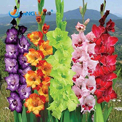 50 graines / Pack, Différentes vivaces Graines Gladiolus fleurs, rares Graines Épée Lily
