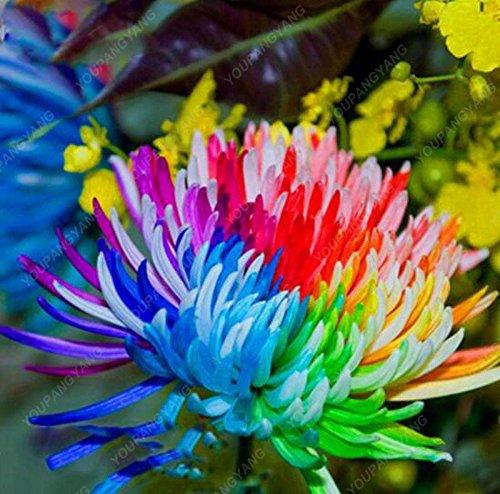 100pcs/sac couvre-sol des graines de chrysanthèmes, plante en pot graines de fleurs vivaces bonsaïs marguerite pour le jardin chrysanthème maison jaune clair