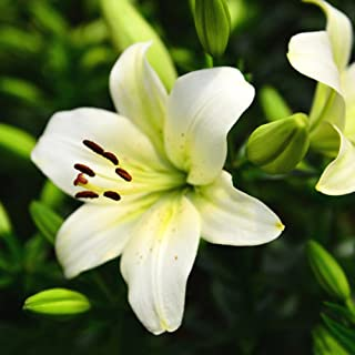 50Pcs Lily Bulbs Flower Bonsai Seeds Planting Flower Lilium Home Garden Decor