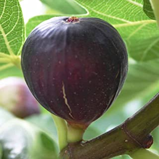 1 Starter Plant of Ficus Louisiana Purple LSU Fig Tree Plant