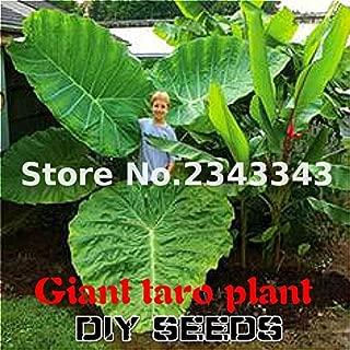 100pcs Alocasia Macrorrhiza Seeds Giant Taro Seed Garden Elephant Ear Taro Plants Ornamental Leaves Edible Root Vegetable Purple