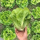 Adolesb Jardin- 100 Pièces Graines De Laitue Bio Salade De Légumes Bio Graines De Laitue Pain De Sucre Graines De Légumes Graines Endives Hiver Hardy Vivaces Pour Balcon/Jardin
