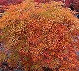 Orangeola Weeping Laceleaf Japanese Maple - Live Plant - Trade Gallon Pot