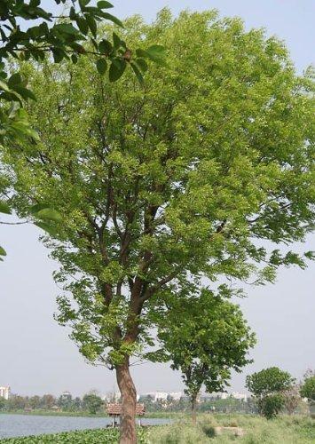 "50 Samen \'\'Mahagoni-Baum\'\' -liefert das wertvolle Handelsholz-\""Swietenia mahagoni\"""