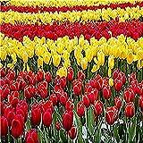 clockfc Pintura por números DIY Set de Pintura al óleo para niños Adultos Principiantes - Tulip Garden Dibujo con Pincel Decoraciones navideñas Regalos 40x50cm (con Marco)
