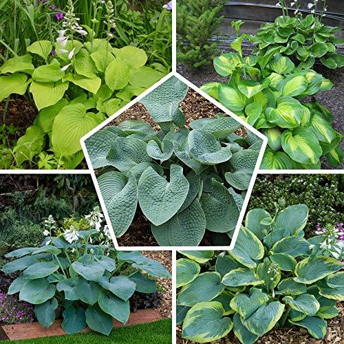 5 x Hosta Pflanzen Kollektion Mix | 5 Sorten | Große Winterharte Nacktwurzel Pflanzen/Stauden aus Holland (kein Samen)