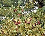 Küstenmammutbaum Sequoia sempervirens Pflanze 15-20cm Küsten-Sequoie Mammutbaum