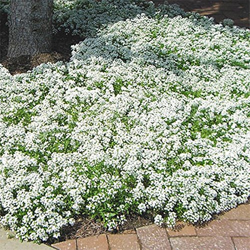 Sweet Seeds Alysse Snezhnyy Kover - Tapis de neige (Lobularia maritima) annuels