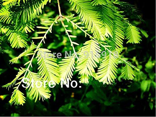 graines d'arbres 50 Pcs Aube Redwood Forêt Graines Bonsai - Metasequoia glyptostroboides - Cultivez votre Kit Bonsaï propre