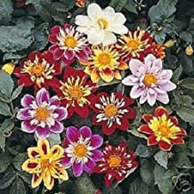 30+ Dahlia Collarette Dandy Bi-Color Mix/Annual Flower Seeds