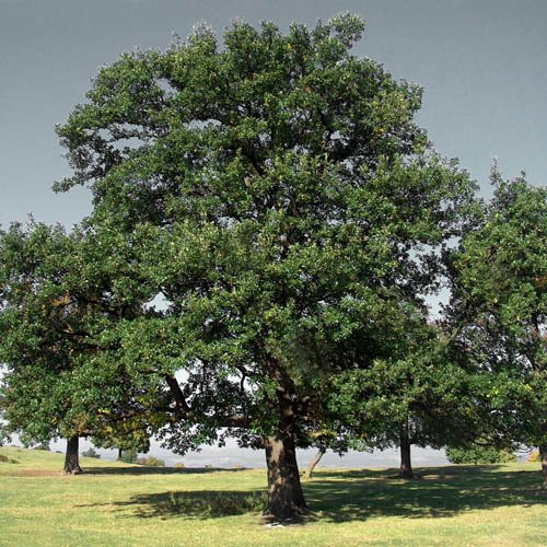 Plant World Seeds - Quercus Robur (oak Tree) Acorn Seeds