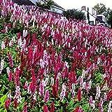 """Persicaria Affinis """"Darjeeling Rosso"""" (Agm) Colorato Moquette Ground Cover 9cm La restituzione della merce non è disponibile Vendiamo solo semi Spediamo a livello internazionale"""