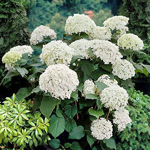 Hydrangea arborescens'Annabelle' |...