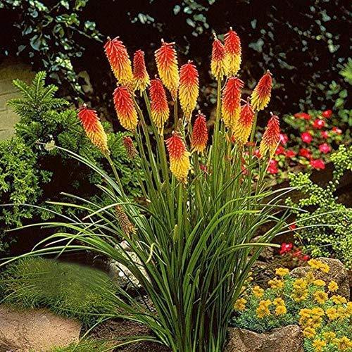 Mix Fackellilien Grandiflora Samen 50 Pcs, Exotische Gartenpflanzen Raketenblumen Blumensamen, Kniphofia Mehrjährig Winterhart Schöne Bonsai Dekor-Blumen