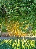 50 semillas de bambú Fargesia fungosa (Hardy Cespitoso)