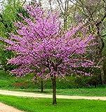 Eastern Redbud Tree - Live Plant - Quart Pot