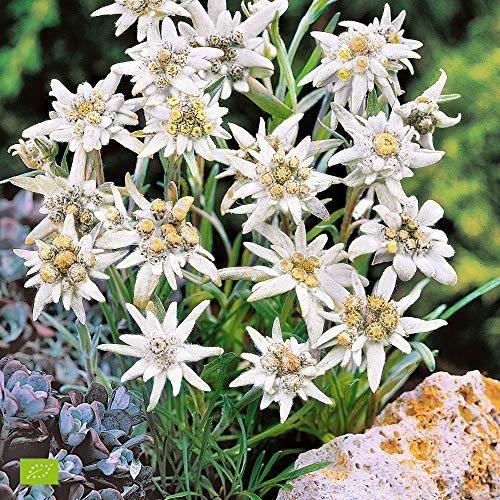 2x Leontopodium alpinum | 2er Set Edelweiss Pflanze | Pflanze für Garten Winterhart | Höhe 25-35cm | Edelweiss im Topf-Ø 11cm