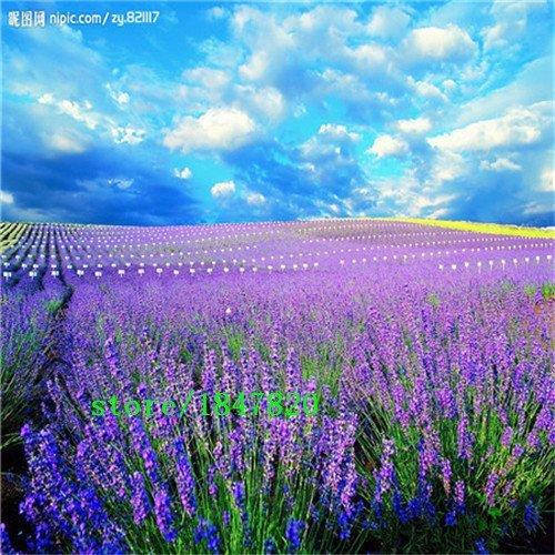200 Graines Français Provence Lavender - Envoi gratuit Très Fragrant