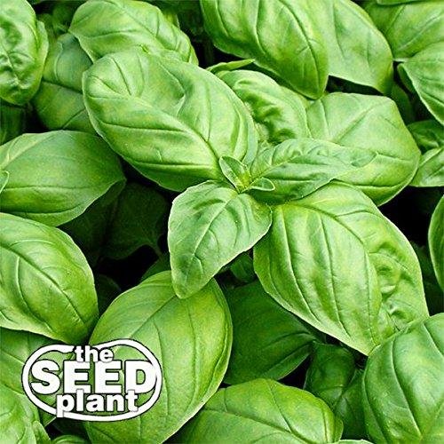 Large Leaf Italian Basil Seeds - 1000 Non-GMO...