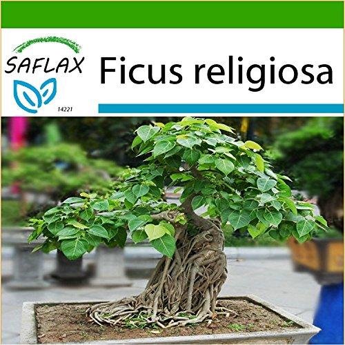 SAFLAX - Bonsai - Buddha-Feige/Bodhi-Baum - 100 Samen - Mit keimfreiem Anzuchtsubstrat - Ficus religiosa