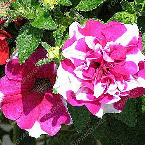 100pcs Bonsai Petunia pétales Graines couleurs mélangées Double Petunia Hybrid Seeds avec le pack professionnel jardin Décoration Autres fleurs