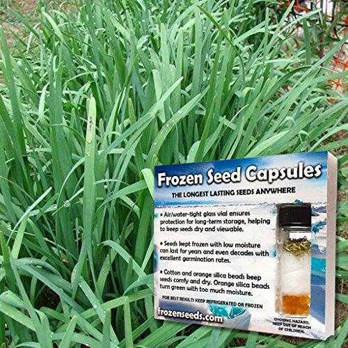 Garlic Chinese Chives Seeds (Allium...