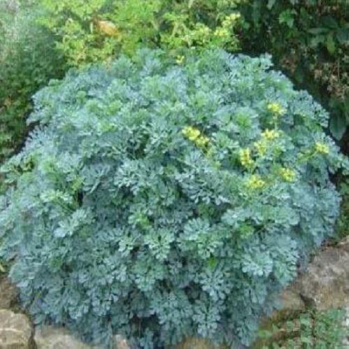 Rue Herb Plant in a 11cm Pot. Ruta graveolens