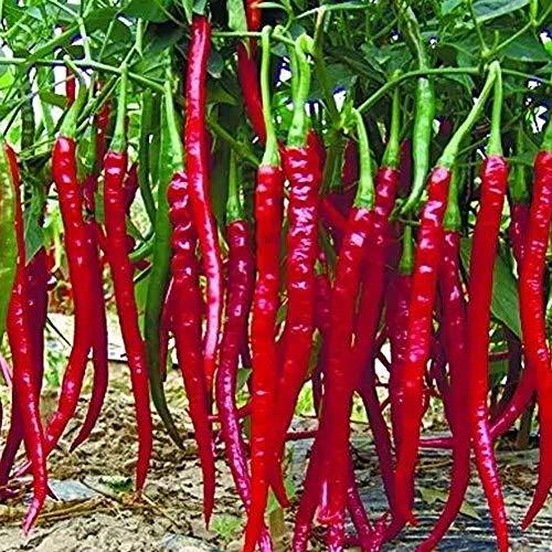 Natürliches Bio-Gemüse Langer Roter Chili Samen Pfeffersamen 50Pcs, Gesundes Gemüsesamen Zierpaprika Capsicum Annuum Saatgut, Obstsamen in Gemüsegärten Blumenbeeten Fensterbänken Straßenrändern