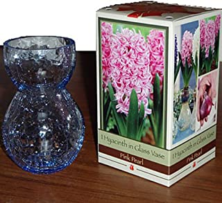Glass Vase with Pink Hyacinth Bulb - 17/18 cm Bulb