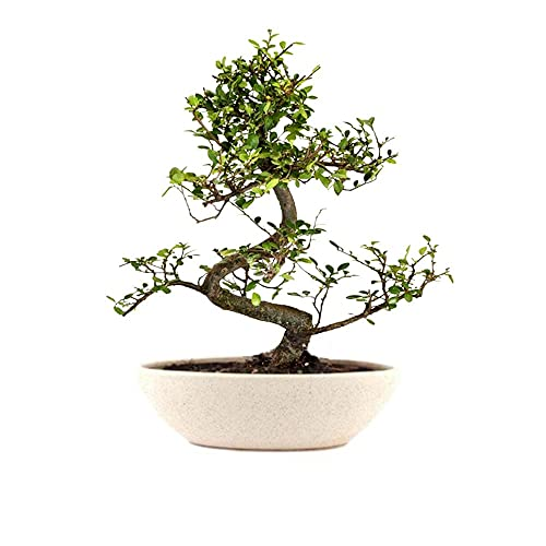 The Bonsai Plants Carmona Bonsai Live Plant - Perfect Gift And Home Decor